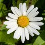 Fiore di Camomilla (clicka per ingrandire)