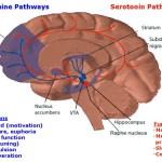 Sistema dopaminergico contrastato dal sistema serotoninergico (Clicka per ingrandire)