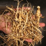 radici di Ginseng
